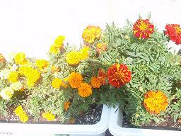 プランターのお花