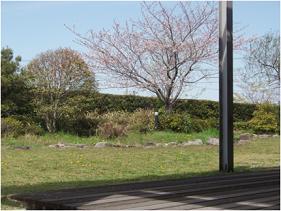 アミューズの桜